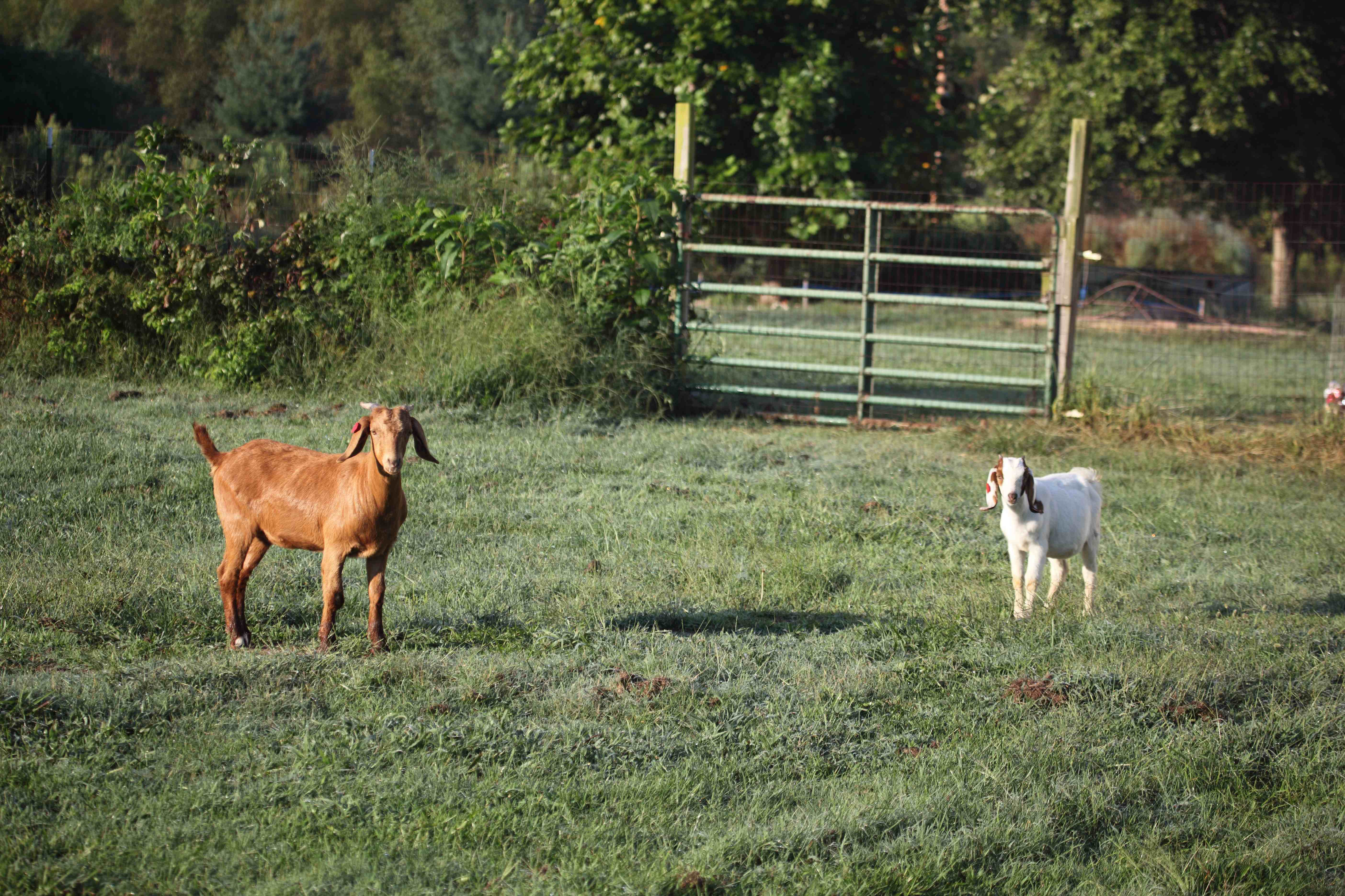 the pair of goats grazes and explores the backyard