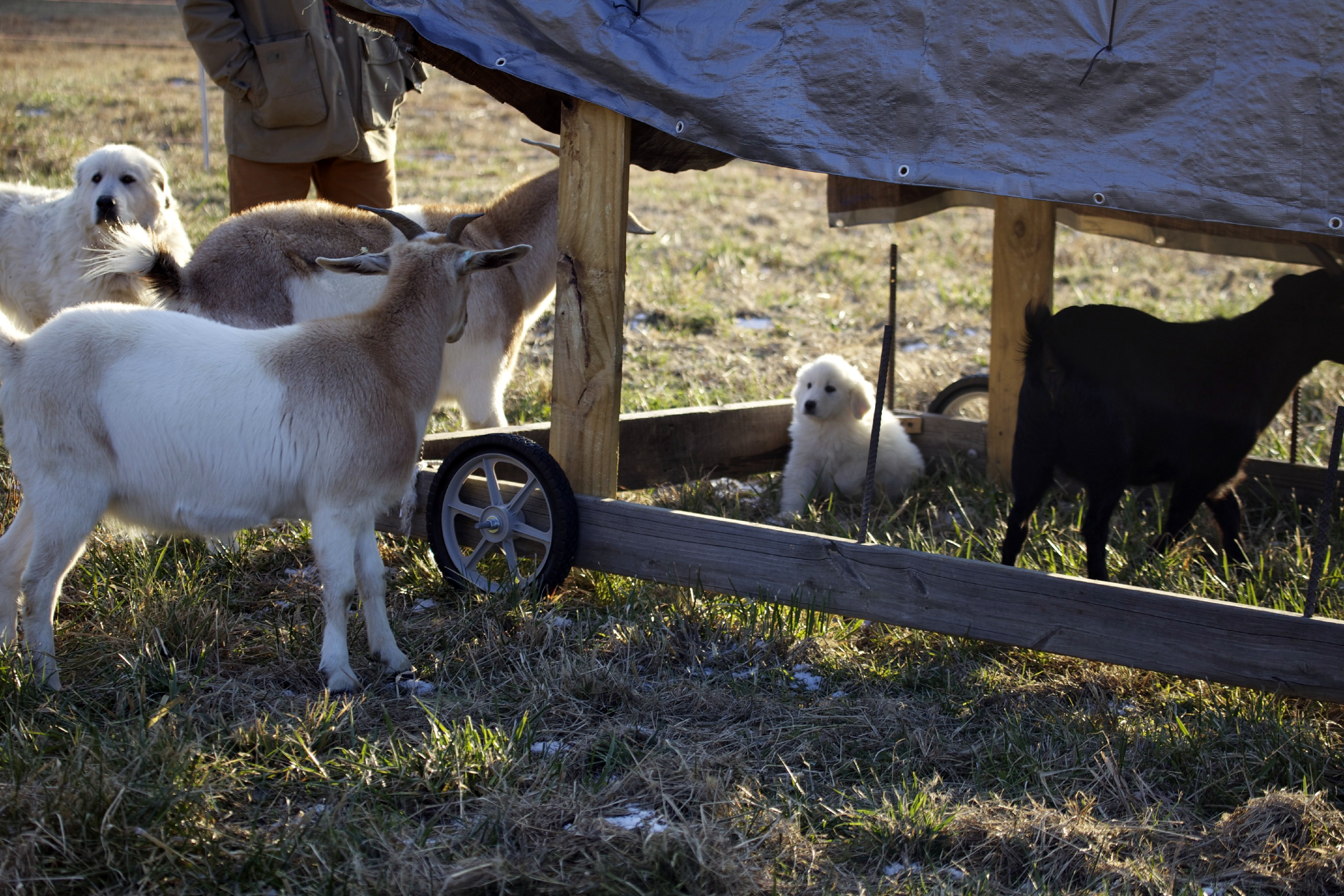 day freedom extended string ff bale for protective goats product feeder products hay feeders kensington round