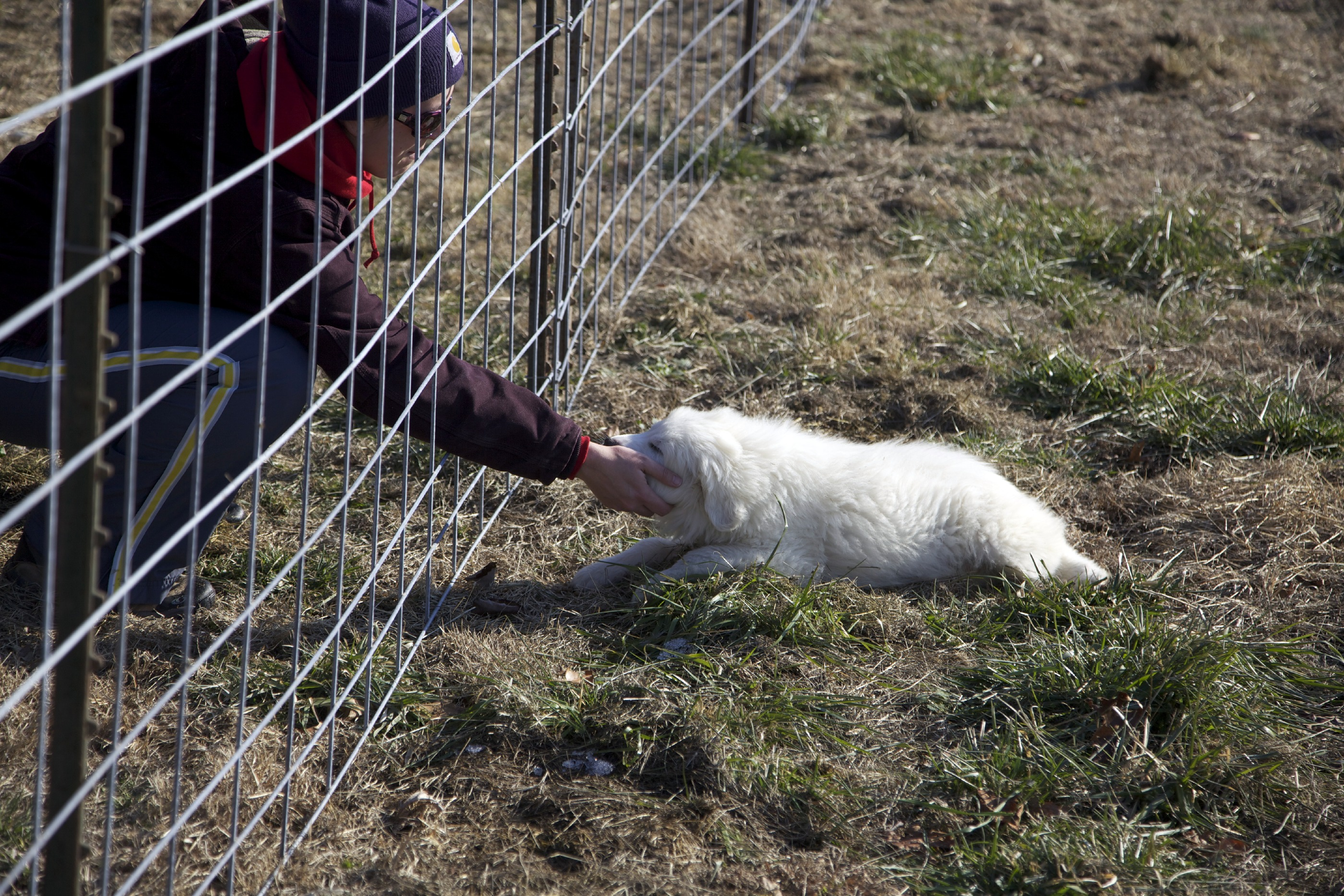 Guardian animals good life ranch guess who can fit through a cattle panel baanklon Choice Image
