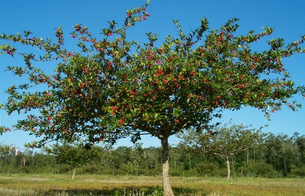 Woodlot pork good life ranch unbelievably mayhaw berries are ripe in may everbearing mulberry sciox Image collections